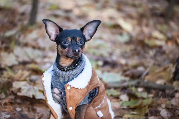 Hond, een speelgoedterriër, een stijlvol gekleed hondje in een trui en een  jas van schapenvacht | Premium Foto