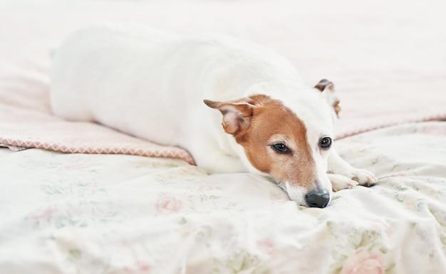 Hond jack russell terrier op bed. gelukkig sfeer in huis. huisdiervriendelijk (hondvriendelijk) hotel. hondslaap op deken in bed in slaapkamer. Premium Foto