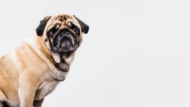 Hond op witte achtergrond Gratis Foto