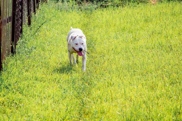 Hond pitbull rent door het groene gras naar zijn master_ Premium Foto