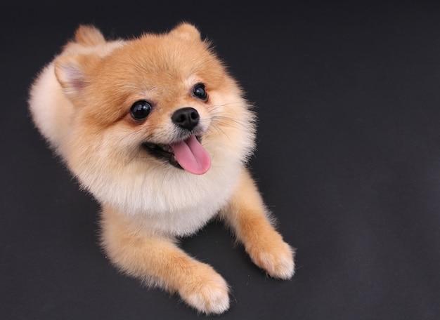 Hond pommeren. Premium Foto
