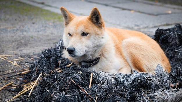 Hond zittend op vreugdevuur met as / japanse shiba inu hond klein formaat, slaaphond eenzaam dier dakloze winterhond dieren Premium Foto