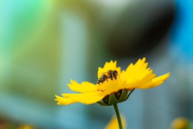 Honingbij die stuifmeel op een heldere gele bloem verzamelt Premium Foto