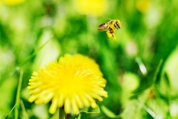 Honingbij en gele bloemen op groen gras Premium Foto