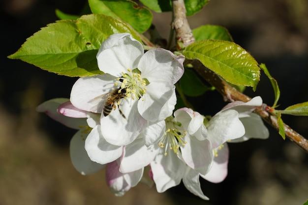 Honingbij op een witte bloem met een onscherpe achtergrond Gratis Foto