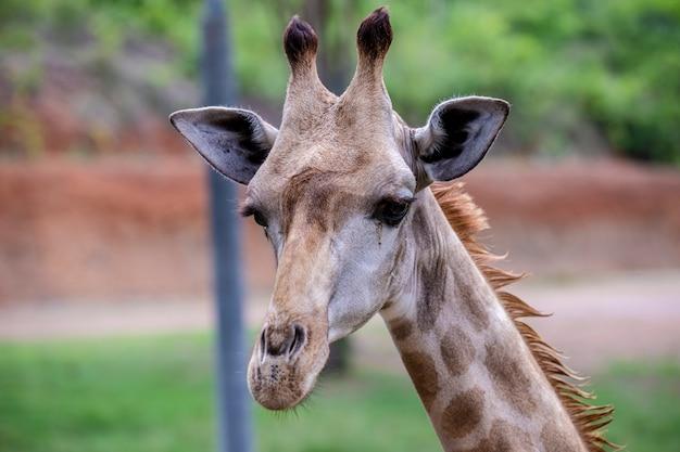 Hoofd geschotene giraf in de dierentuin in thailand Premium Foto