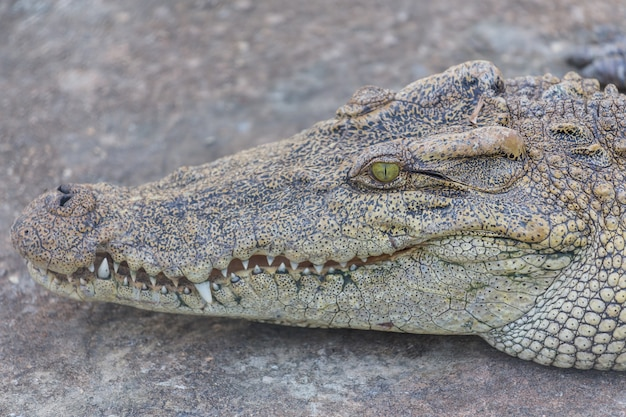 Hoofd van krokodil, alligator Premium Foto
