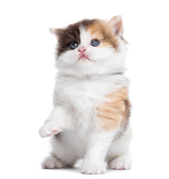 Hoogland rechtstreeks katje dat omhoog kijkend omhoog geïsoleerd op wit handtastelijk wordt Premium Foto