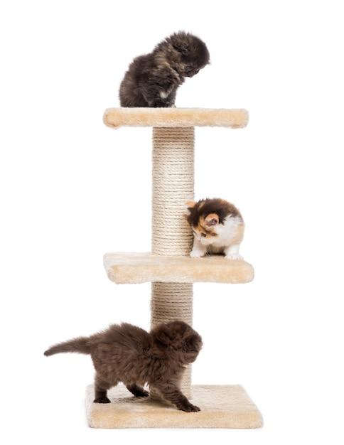 Hooglandvouwen en rechte katjes die op een kattenboom spelen die op wit wordt geïsoleerd Premium Foto
