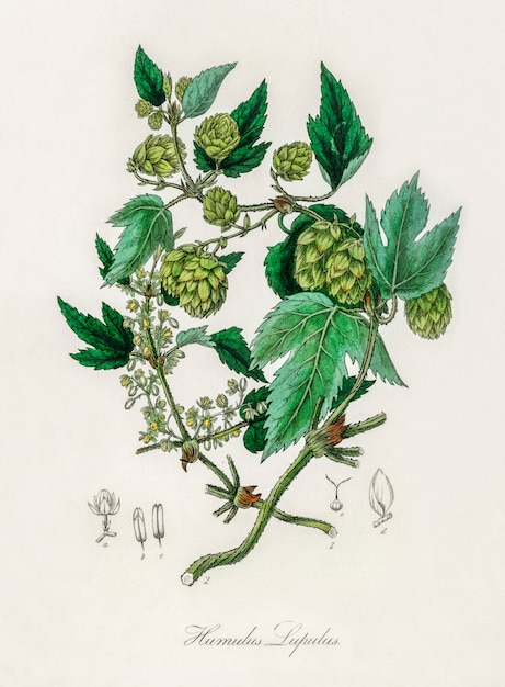 Hop (humulus lupulus) illustratie van medical botany (1836) Gratis Foto