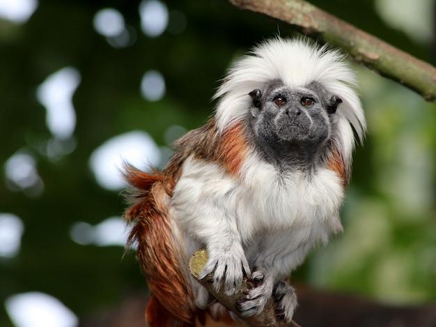 Horizontaal close-upschot van een witte en bruine aapzitting op de boomtak Gratis Foto