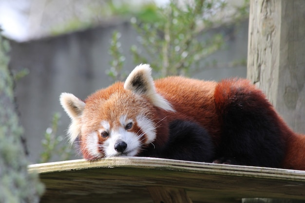 Horizontale close-up shot van een schattige rode panda op een houten tafel in de dierentuin Gratis Foto