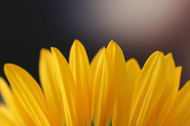 Horizontale close-up shot van een zonnebloem bloemblaadjes op een onscherpe achtergrond Gratis Foto