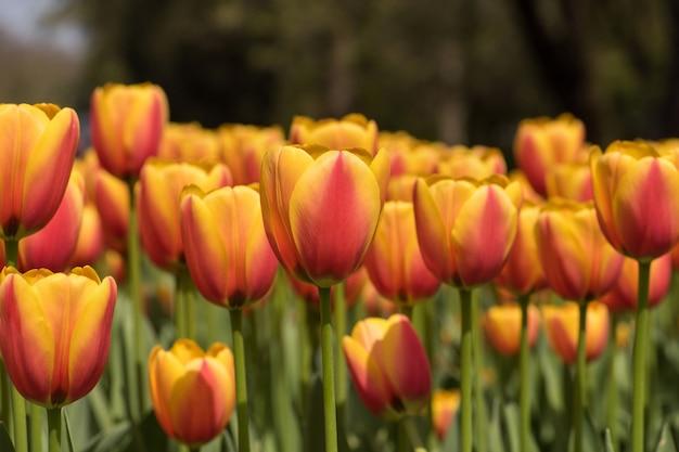 Horizontale close-up shot van prachtige roze en gele tulpen - schoonheid in de natuur verspreiden Gratis Foto