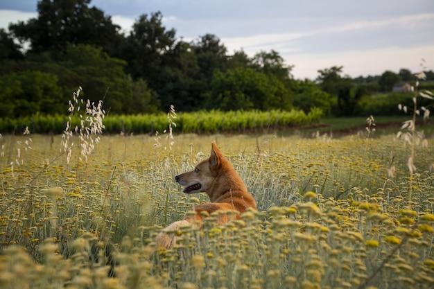 Horizontale opname van een veld van eeuwige bloemen met een bruine hond in istrië, kroatië Gratis Foto