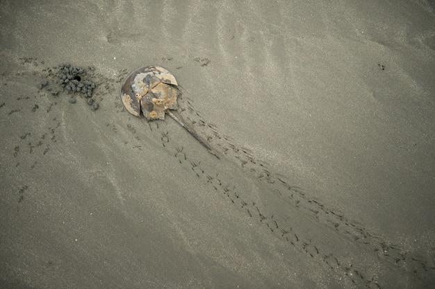 Horshoe-krab op zandstrand Premium Foto