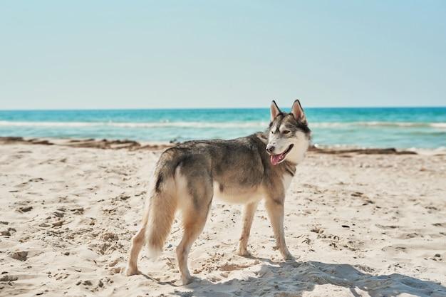 Husky hond op het strand Premium Foto