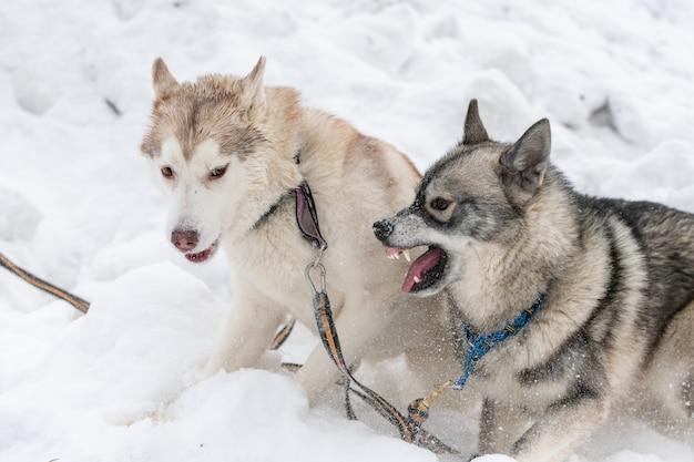 Husky honden blaffen, bijten en spelen in de sneeuw Premium Foto