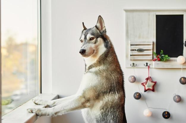 Husky op nieuwjaar Premium Foto