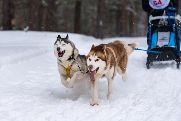 Husky sledehonden team in harnas run en pull dog driver. sledehonden racen. wintersport kampioenschap competitie. Premium Foto