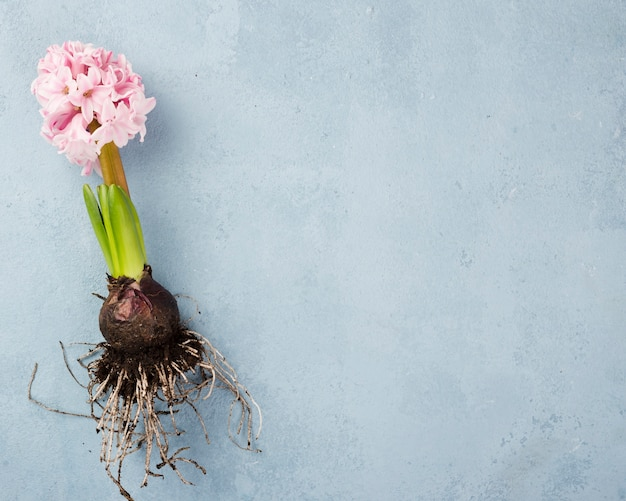 Hyacintwortel met kopie-ruimte Gratis Foto
