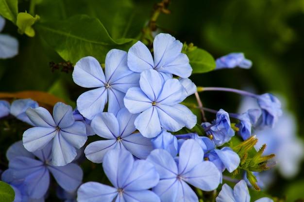 Hydrangea bloemen Premium Foto