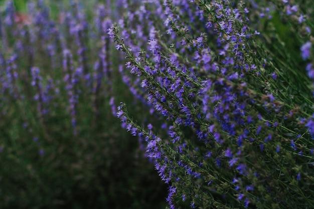 Hysopstruiken met blauwe en paarse bloemen Premium Foto