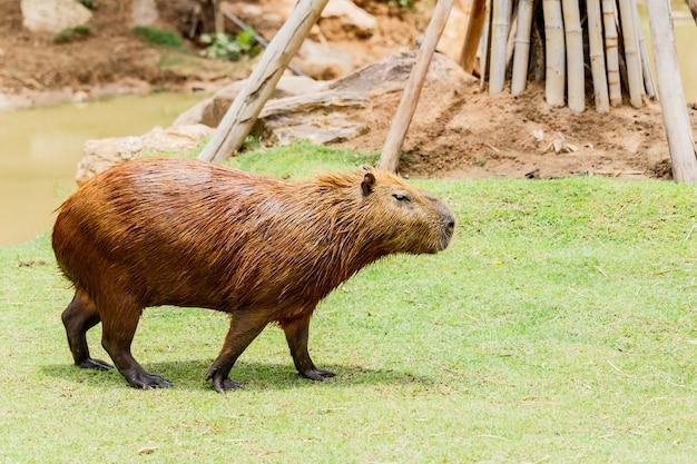 Ig capybara (hydrochoerus hydrochaeris) in de dierentuin Premium Foto