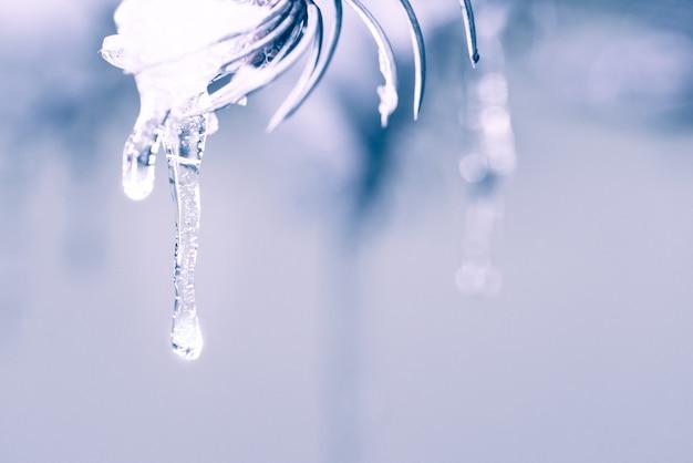 Ijspegels opknoping van een met sneeuw bedekte pijnbomen. koude genuanceerde kleuren, winter achtergrond Premium Foto