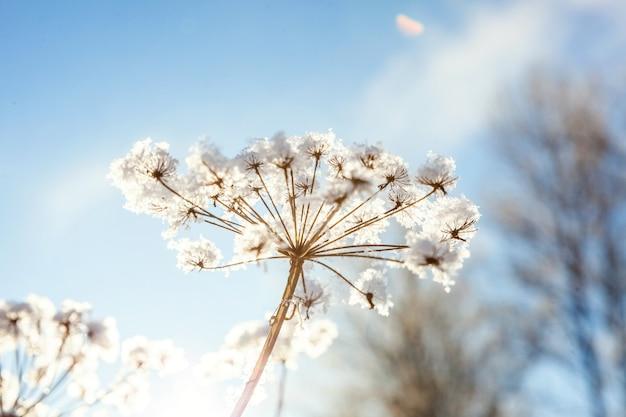 Ijzig gras in sneeuw bos, koud weer in zonnige ochtend Premium Foto