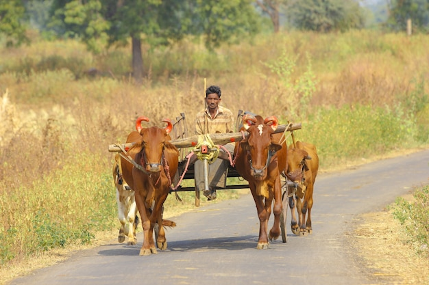 Indiase boer op stier kar Premium Foto