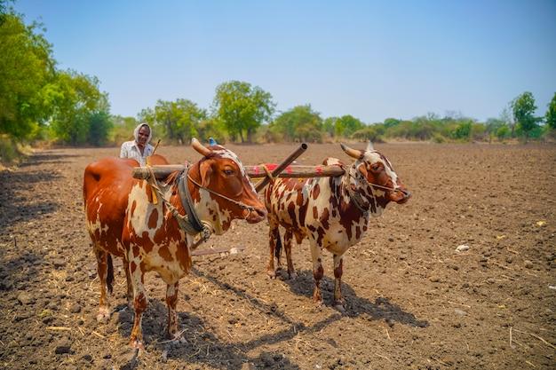 Indiase boer werken met stieren op zijn boerderij Premium Foto