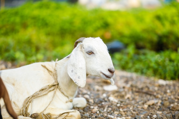 Indiase geit op veld, landelijk india. Premium Foto