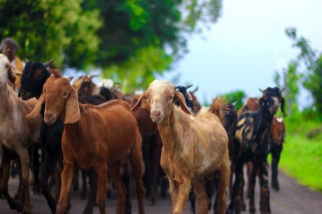Indiase geit op veld Premium Foto