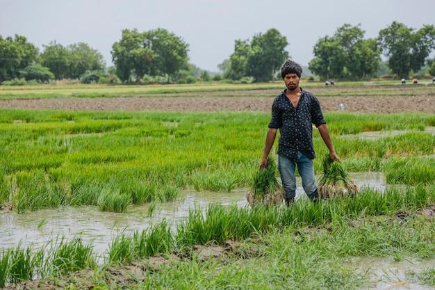 Indische landbouwer die in padieveld werkt Premium Foto