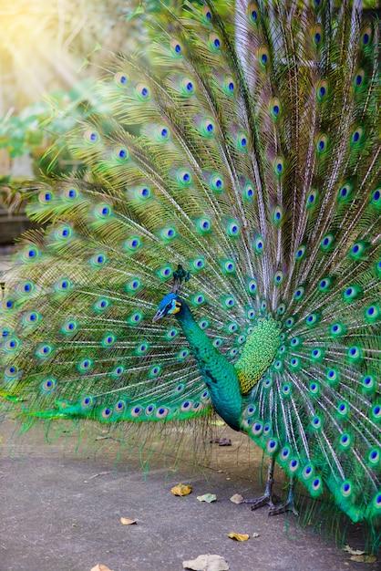 Indische pauw (pavo-cristatus) pauw Premium Foto