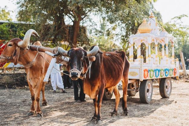 Indische versierde stier voor sankranthi-festival Premium Foto