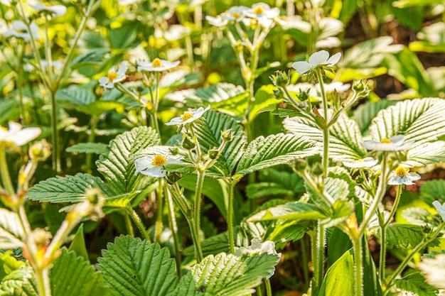 Industriële teelt van aardbeien. struik van aardbei met bloem in de lente of de zomertuinbed. natuurlijke groei van bessen op de boerderij. eco gezonde natuurvoeding tuinbouw concept muur. Premium Foto