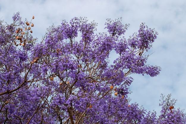 Jacaranda mimosifolia boom Premium Foto