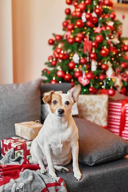 Jack russell terrier op nieuwe jaarachtergrond. Premium Foto