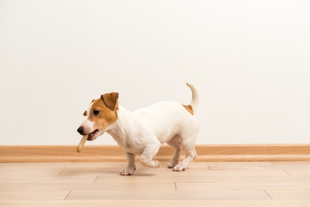 Jack russell terrier puppy Gratis Foto