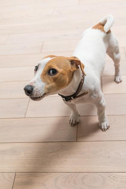 Jack russell terrier thuis Gratis Foto