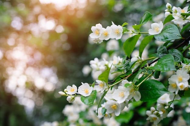 Jasmijn lentebloemen met regendruppels Premium Foto