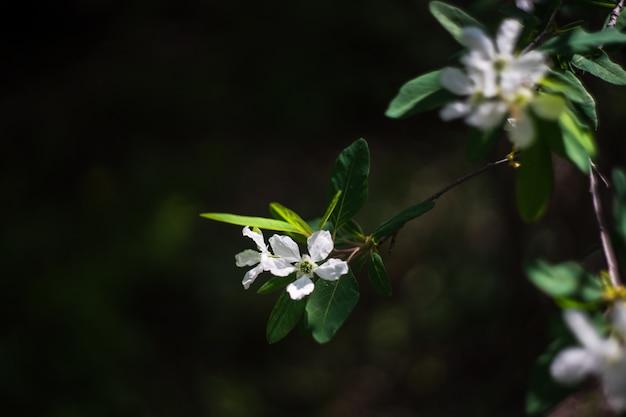 Jasmijnbloemen in een tuin Premium Foto