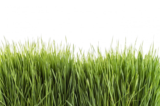 Jong groen wheatgrass-studioschot dat op wit wordt geïsoleerd Premium Foto