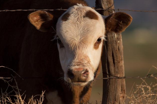 Jong kalf op de boerderij van utah Premium Foto