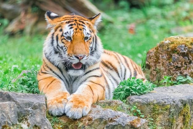 Jonge bengaalse tijger liggend op het gras op zomerdag Premium Foto