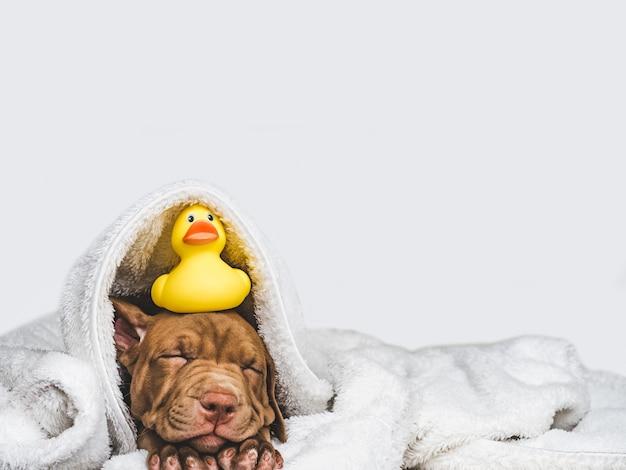 Jonge, charmante puppy en gele, rubberen eend Premium Foto