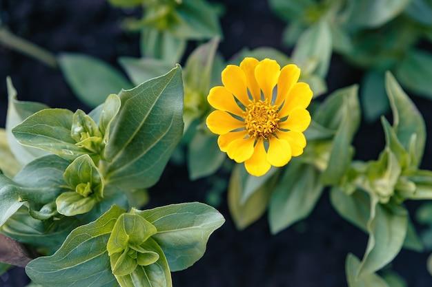 Jonge gele zinnia bloeide in het bloembed. Premium Foto