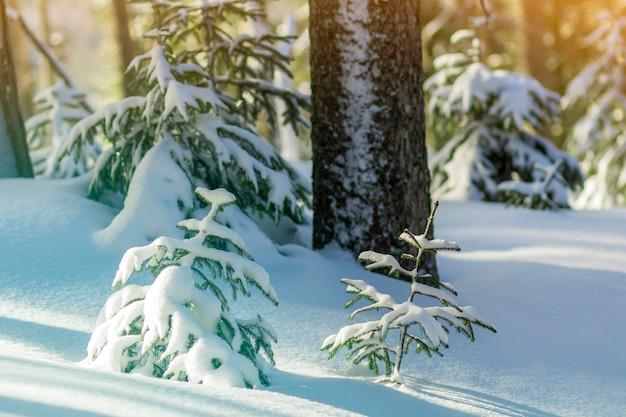 Jonge groene dennen bedekt met sneeuw op koude zonnige dag Premium Foto